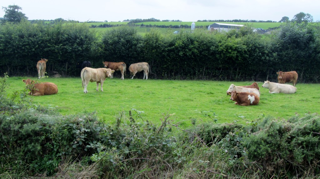 newry canal towpath scarva cycle hire cows